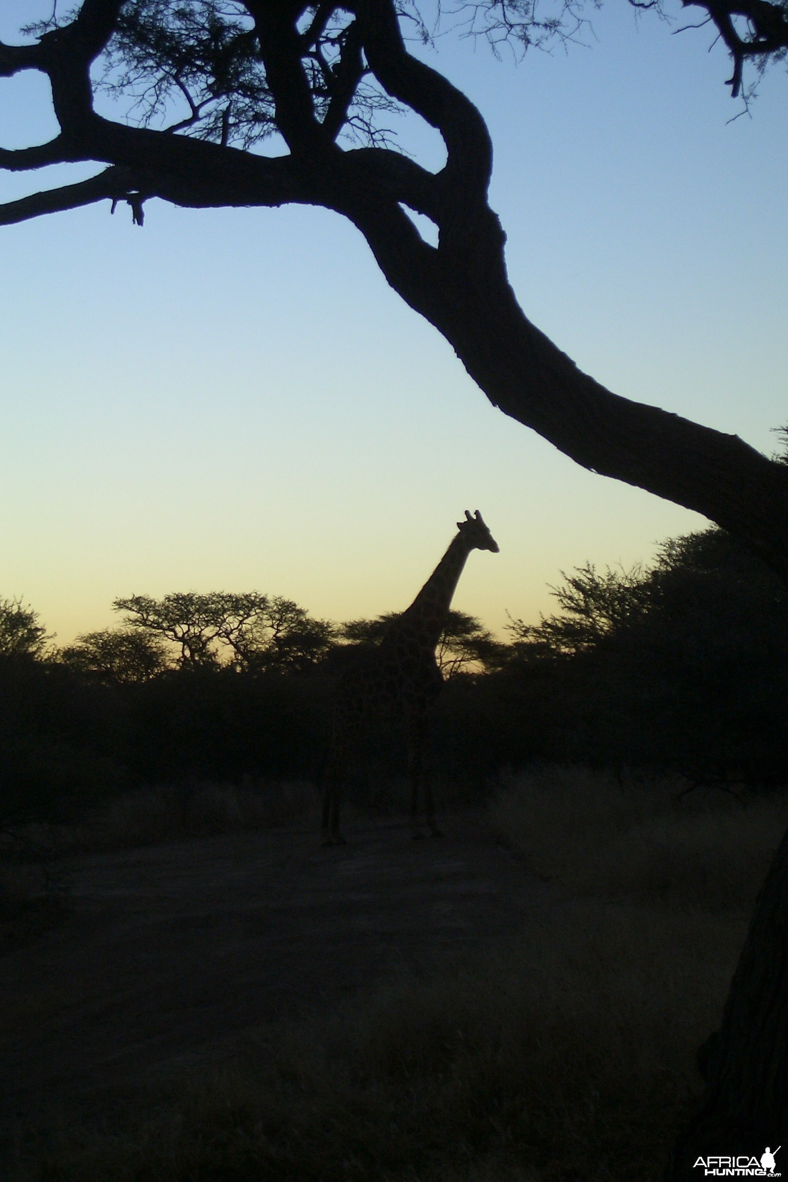 Namibia Sunset - Silhouette Giraffe