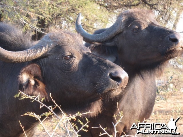 Cape Buffalo Cows