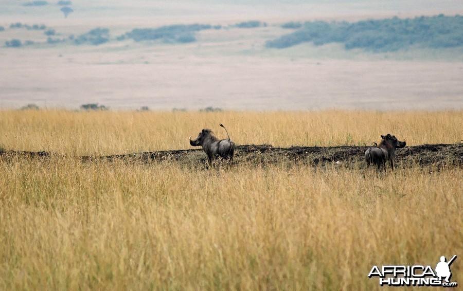 Africa namibia Warthogs