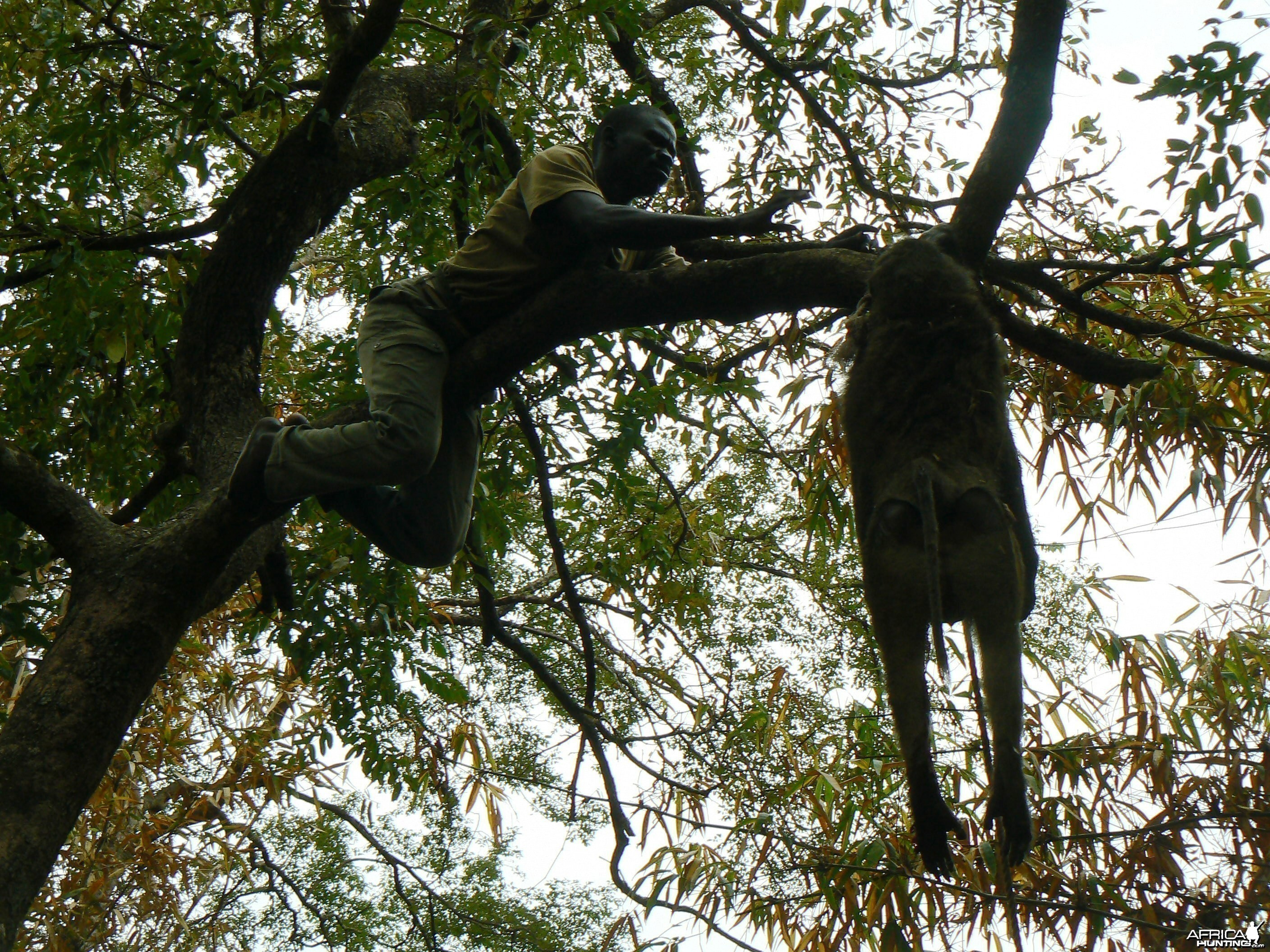 Hanging Leopard bait, a Baboon