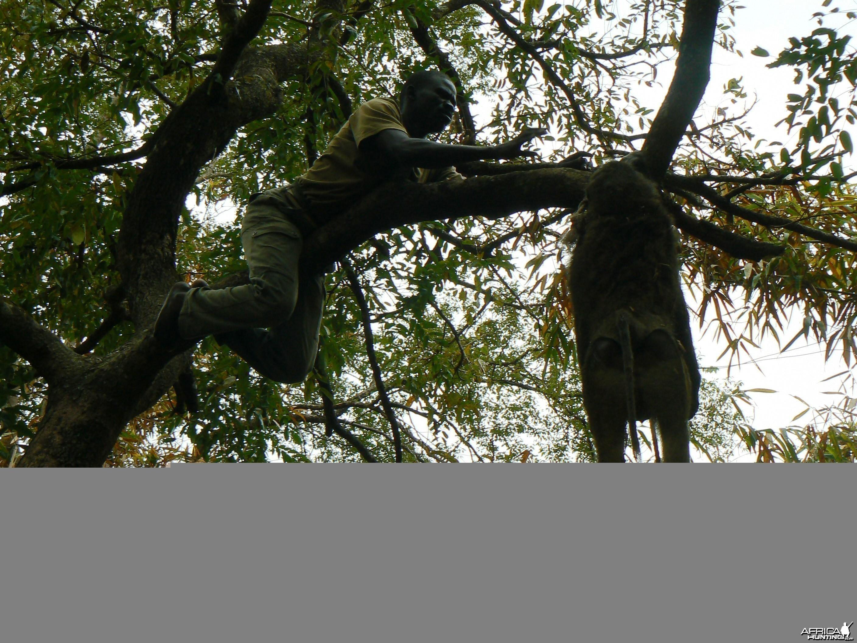 Hanging Leopard bait, a Baboon