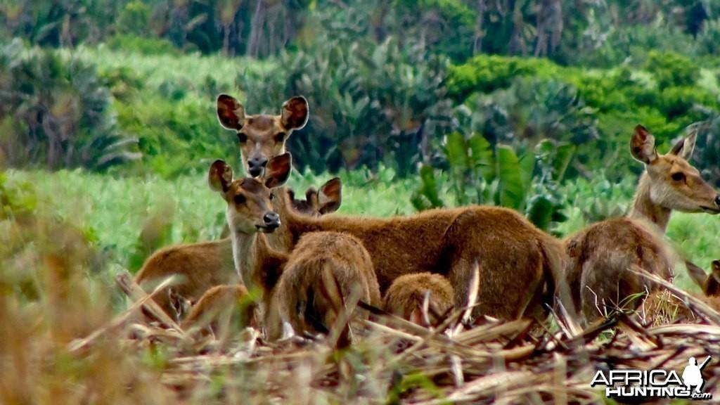 Mauritian deer, formely know as Rusa deers