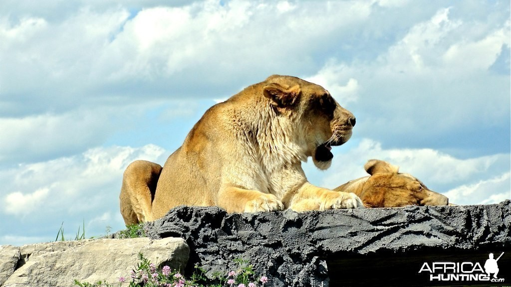 Mauritius - Lions standing very high on a rock!