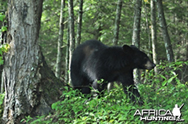 Small black bear 10 feet from my car on a trip to Tennessee, US