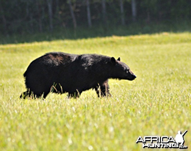 Black Bear, US