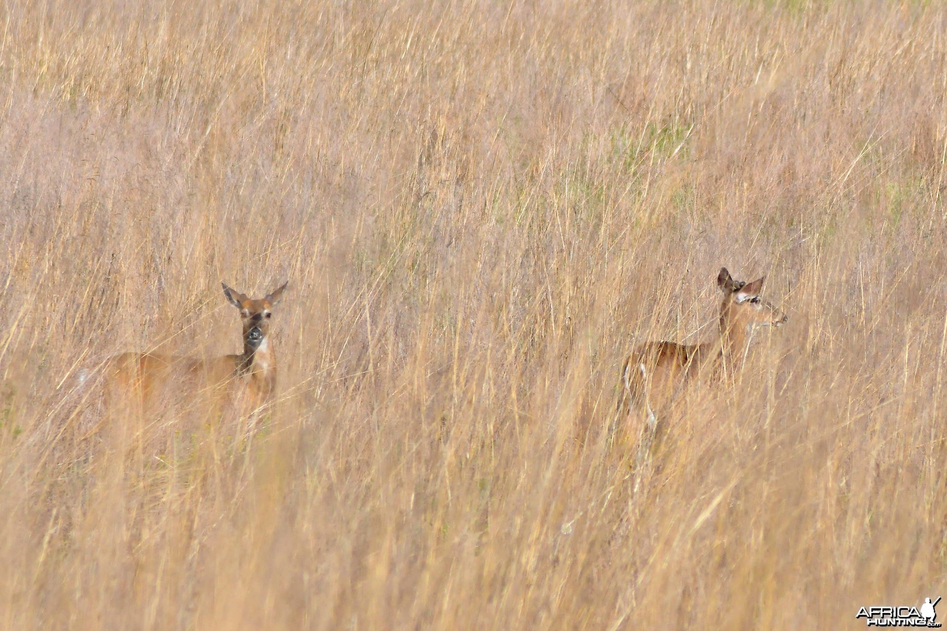 Two beautiful, yearling bucks resting after play-fighting in a field, US