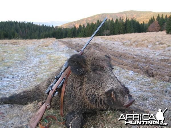 Boar from Slovakia