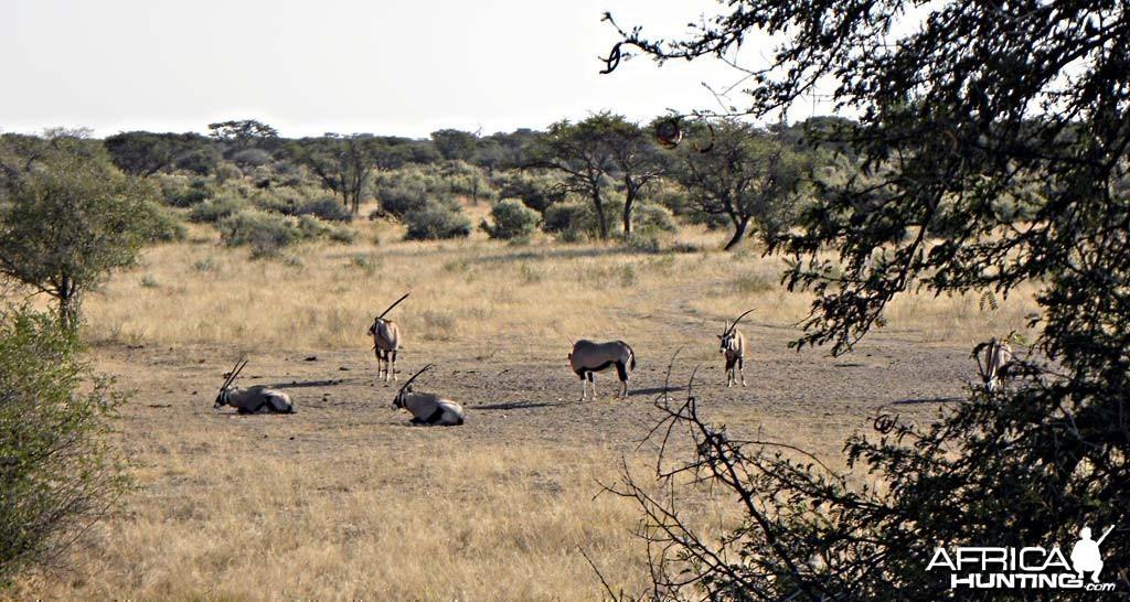 Oryx at Kataneno