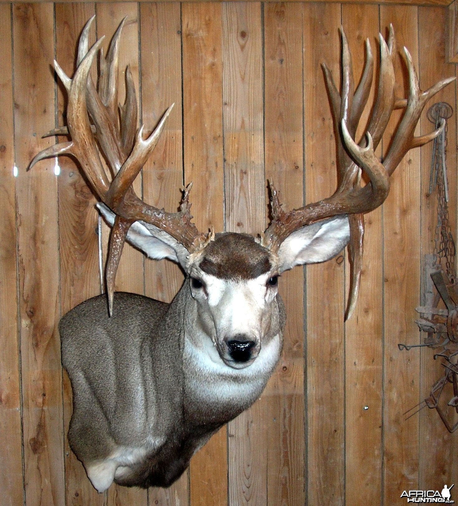Here is my buck, mounted it and taned it myself!