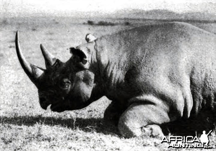 Rhino of the usual type with prehensile lip, shot in the Sotik by Theodore