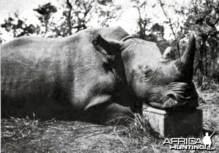 Male square-nosed rhino shot by Kermit Roosevelt