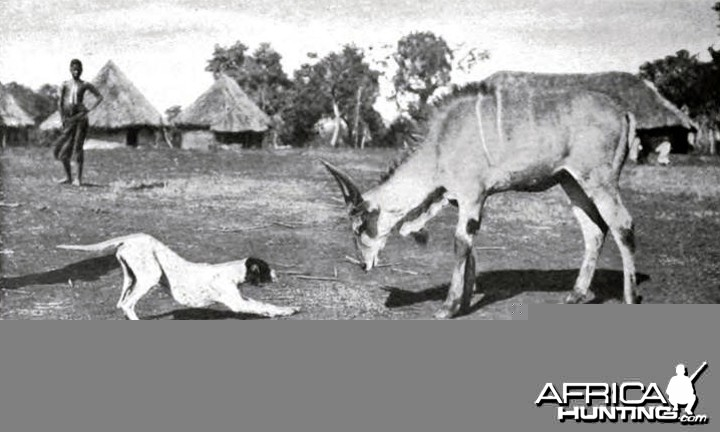 Theodore Roosevelt, a domesticated young male eland at Meru