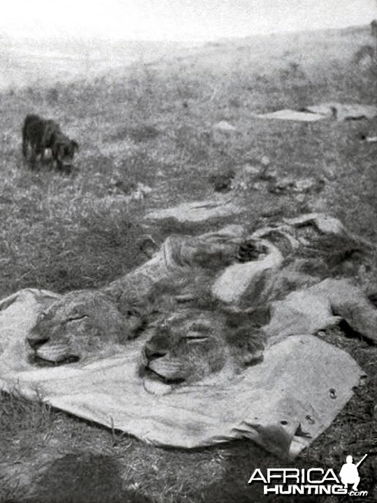 Heads of two big lions shot by Theodore Roosevelt