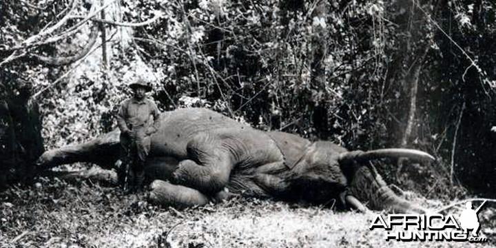 The first bull elephant