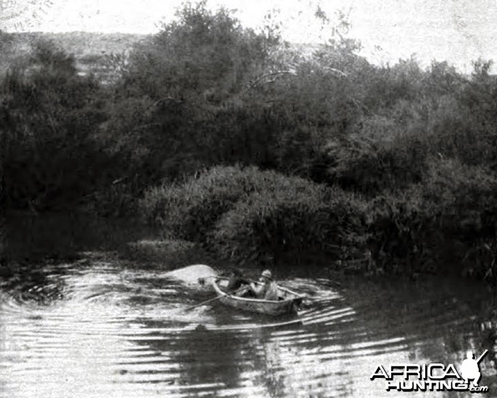 Towing the hippo shot by Theodore Roosevelt