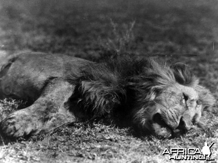 Lion shot by Kermit Roosevelt