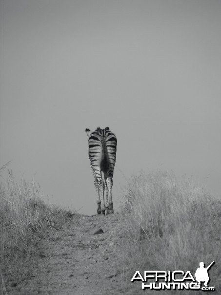 A young, lone zebra walks down a trail in South Africa