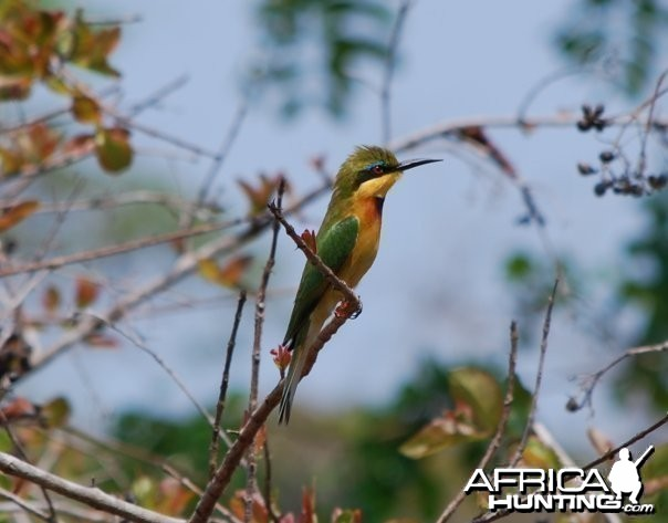 A bee-eater seen while on a lunch break in the Selous