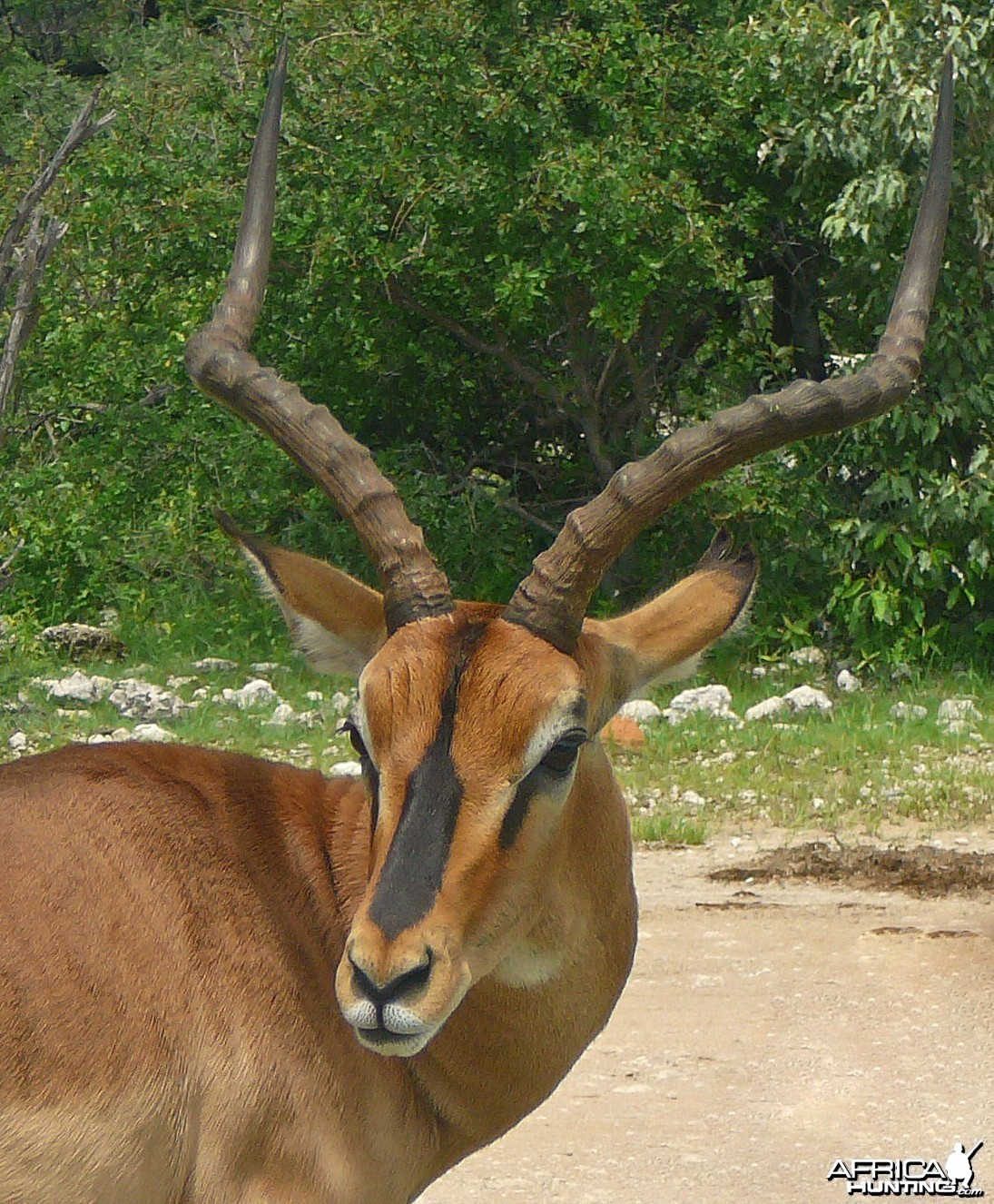 Black faced impala