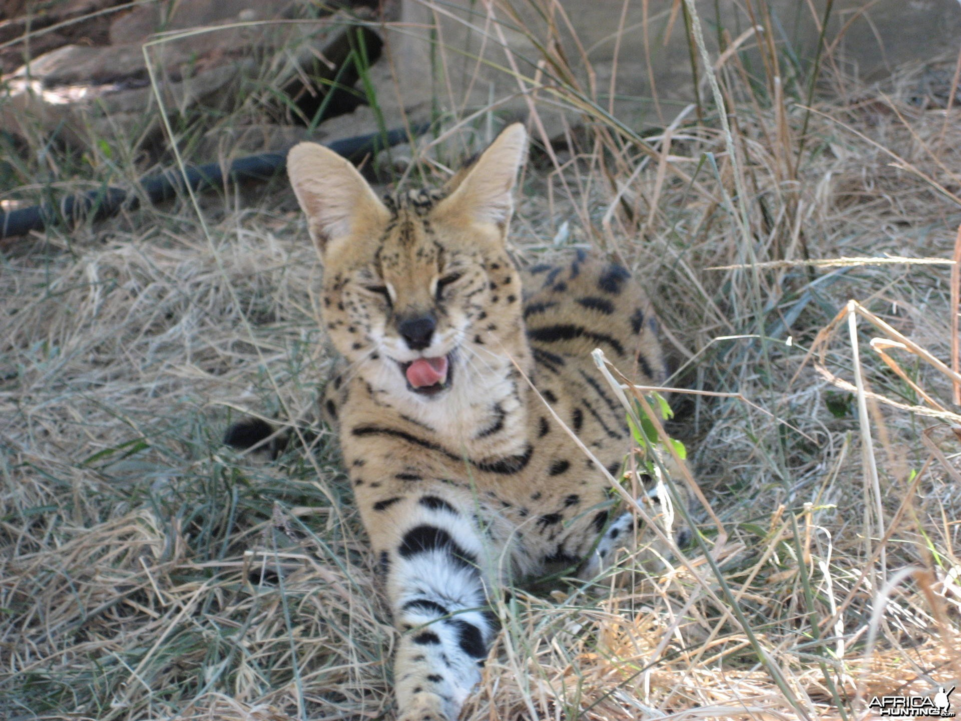 Serval South Africa