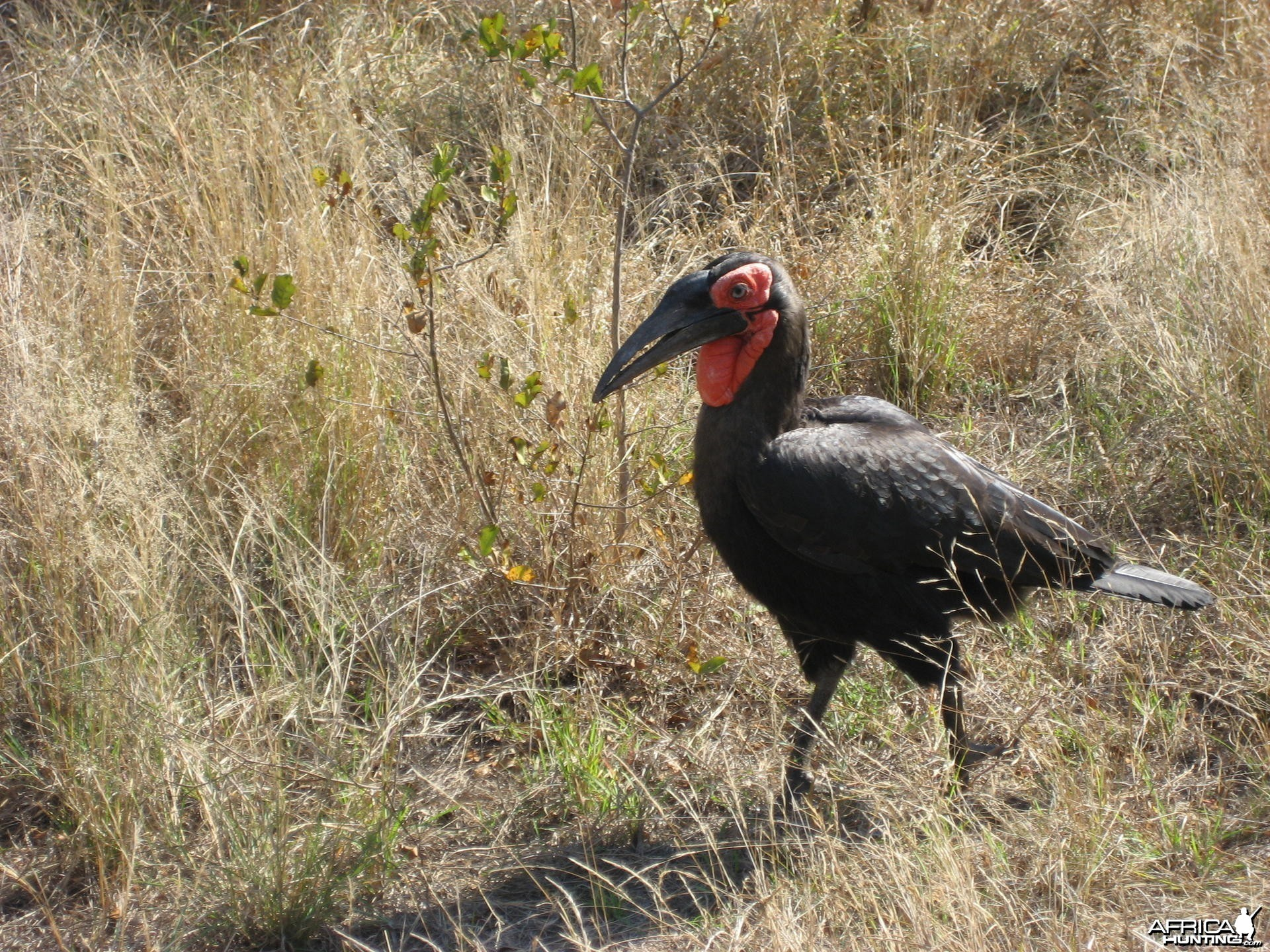 African Ground Hornbill South Africa