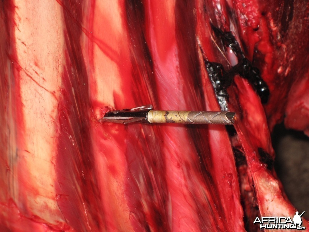 Arrow in Buffalo Rib - Arrow Penetration