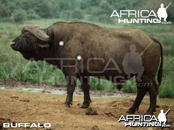 Hunting Buffalo Shot Placement