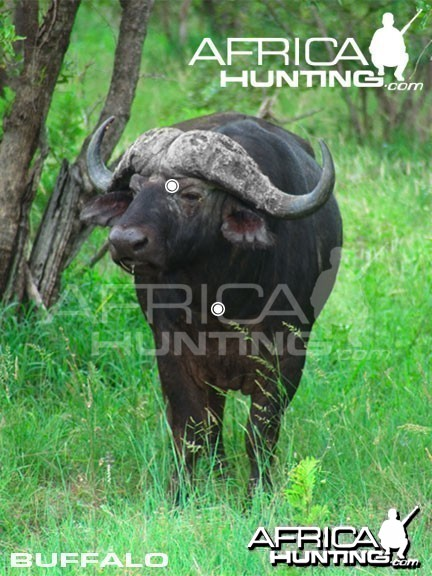 Hunting Buffalo Front View Shot Placement