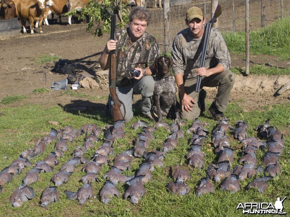 Rock Pigeon Shooting near Cape Town South Africa