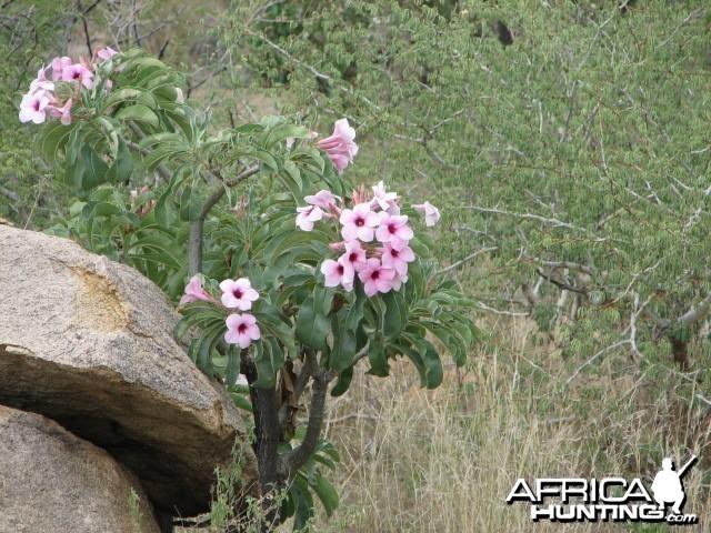 Bushman rose Namibia