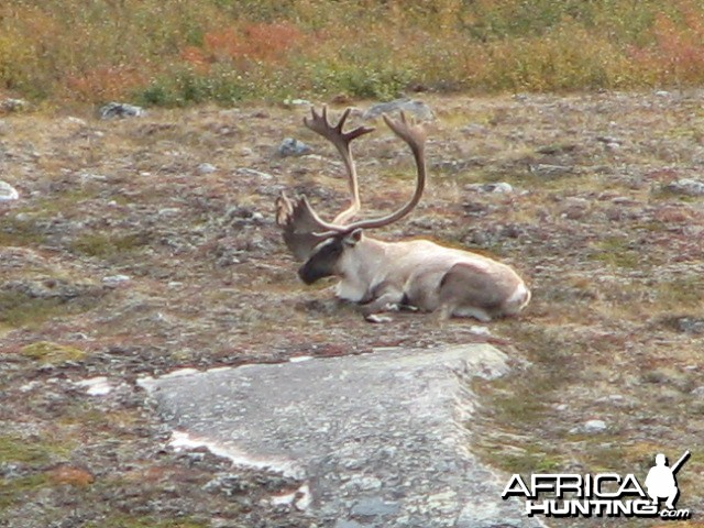 Caribou Northern Quebec Lac Minto area