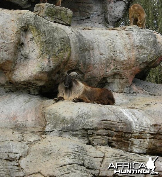 A Tahr bedded under a over hang