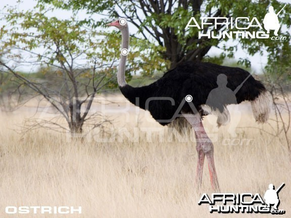 Hunting Ostrich Shot Placement