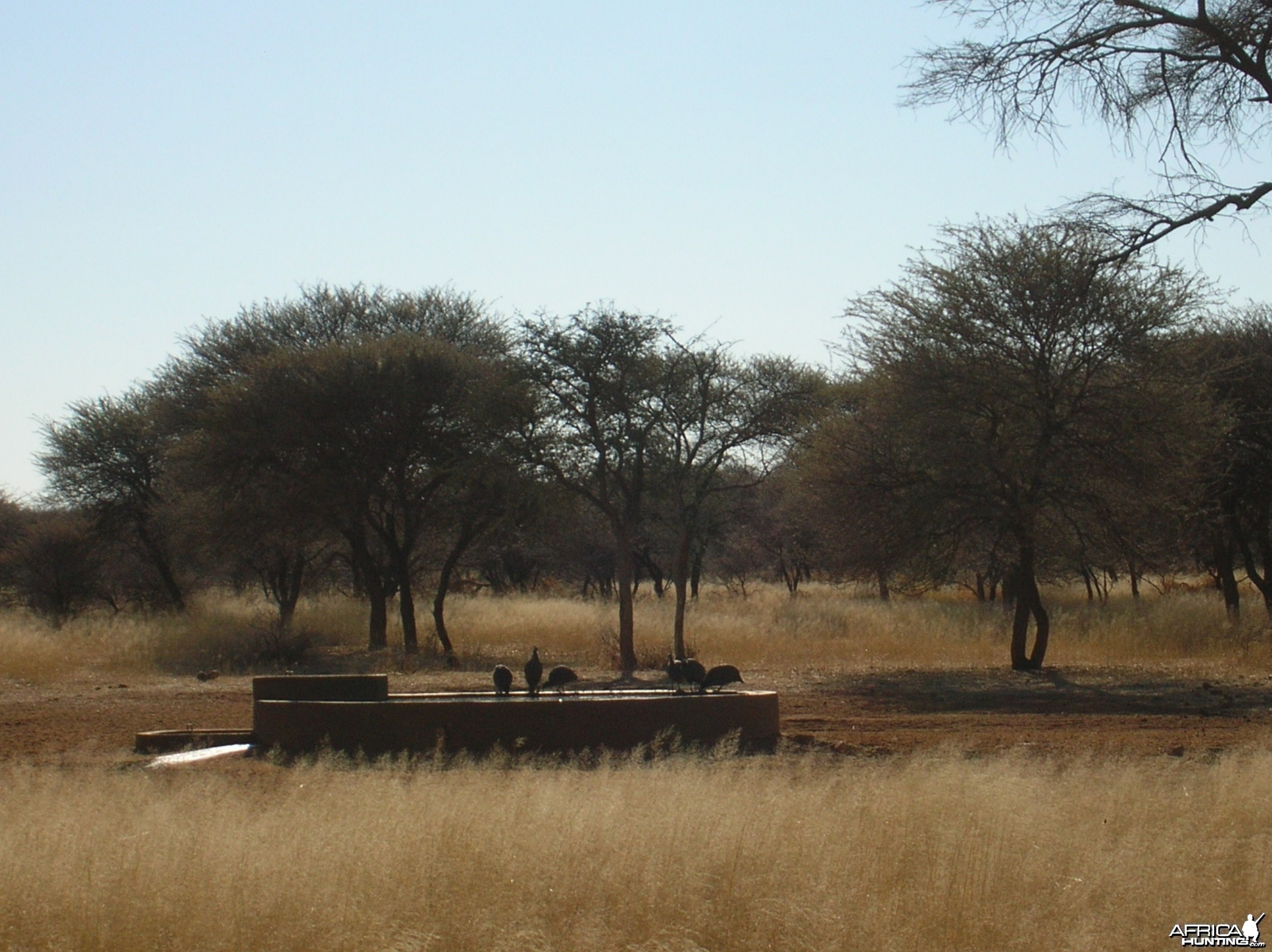 Gineafowls in Namibia