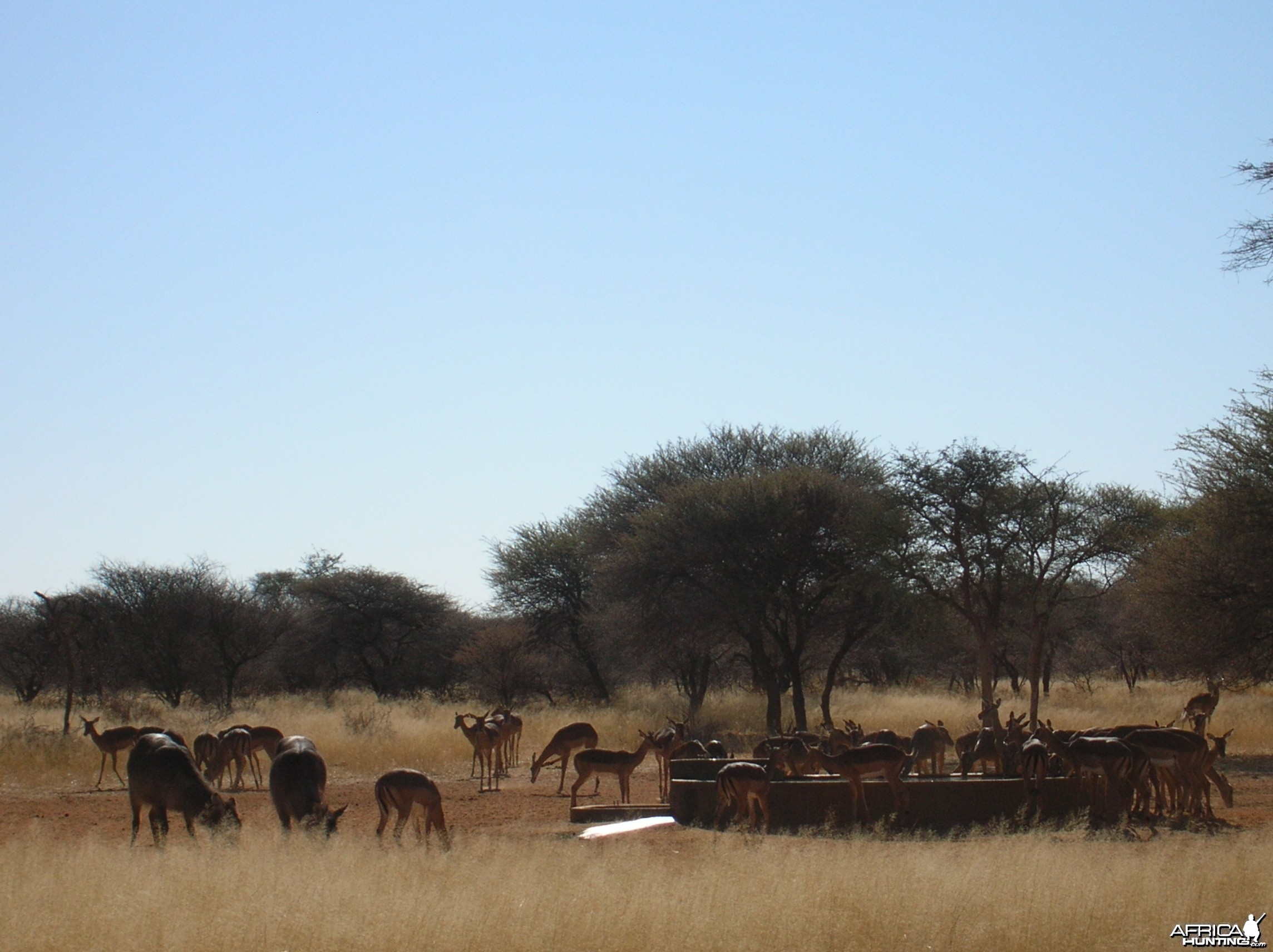 Impalas in Namibia