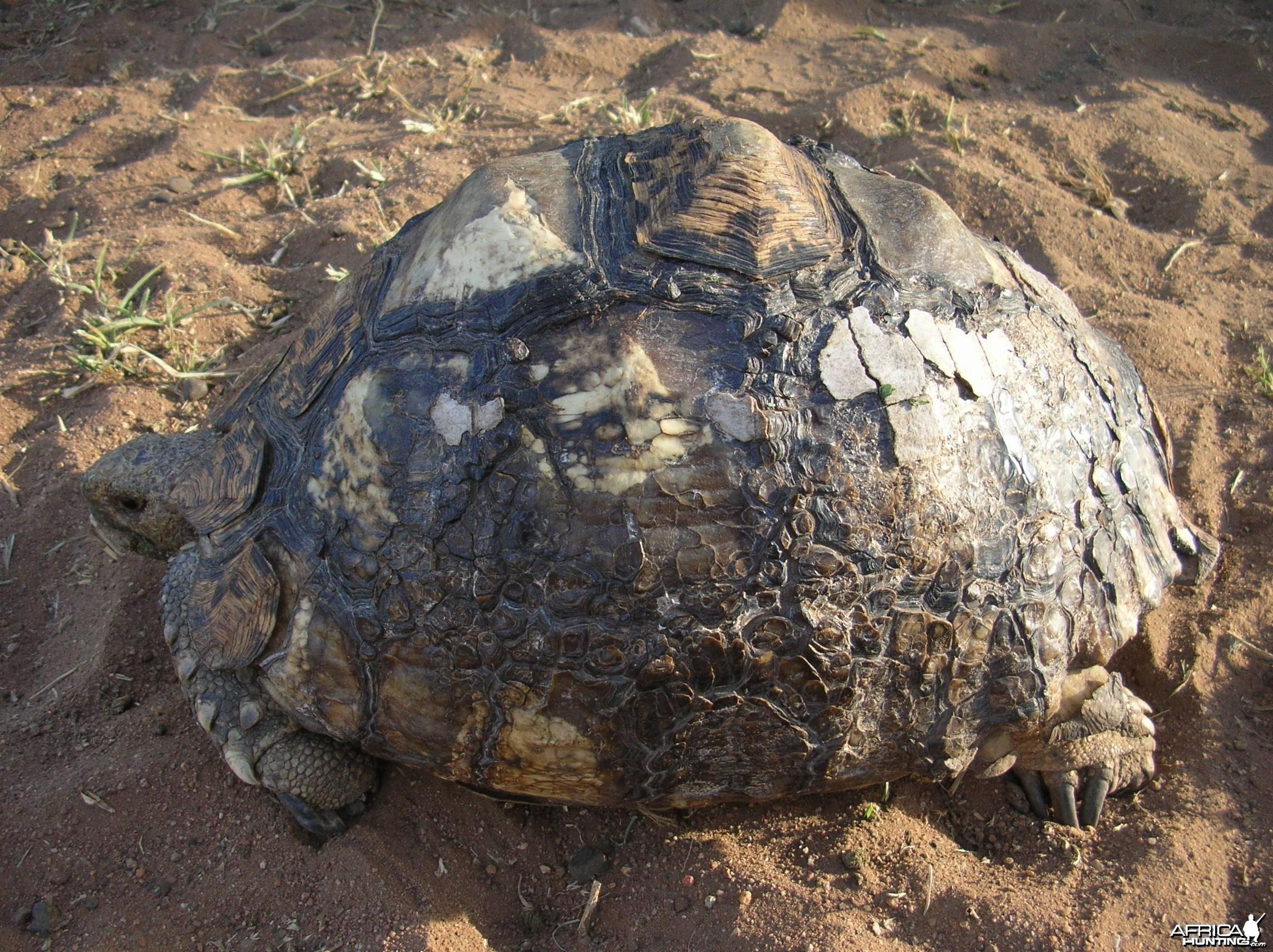 Leopard Tortoise in Namibia