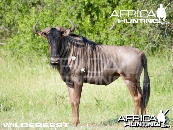 Hunting Wildebeest Shot Placement