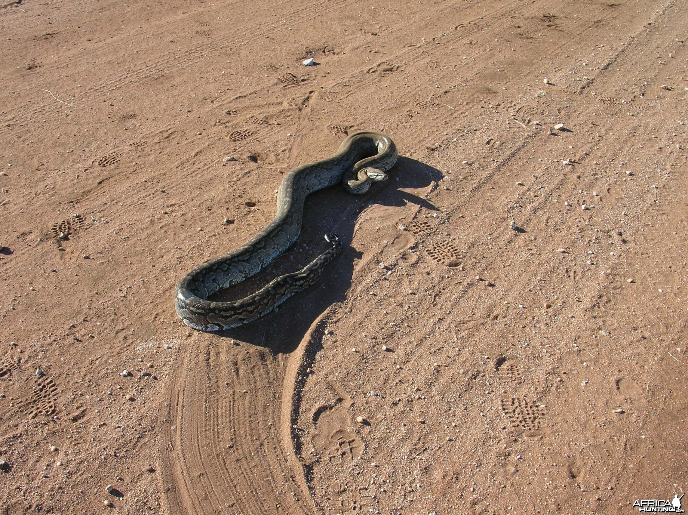 Python in Namibia