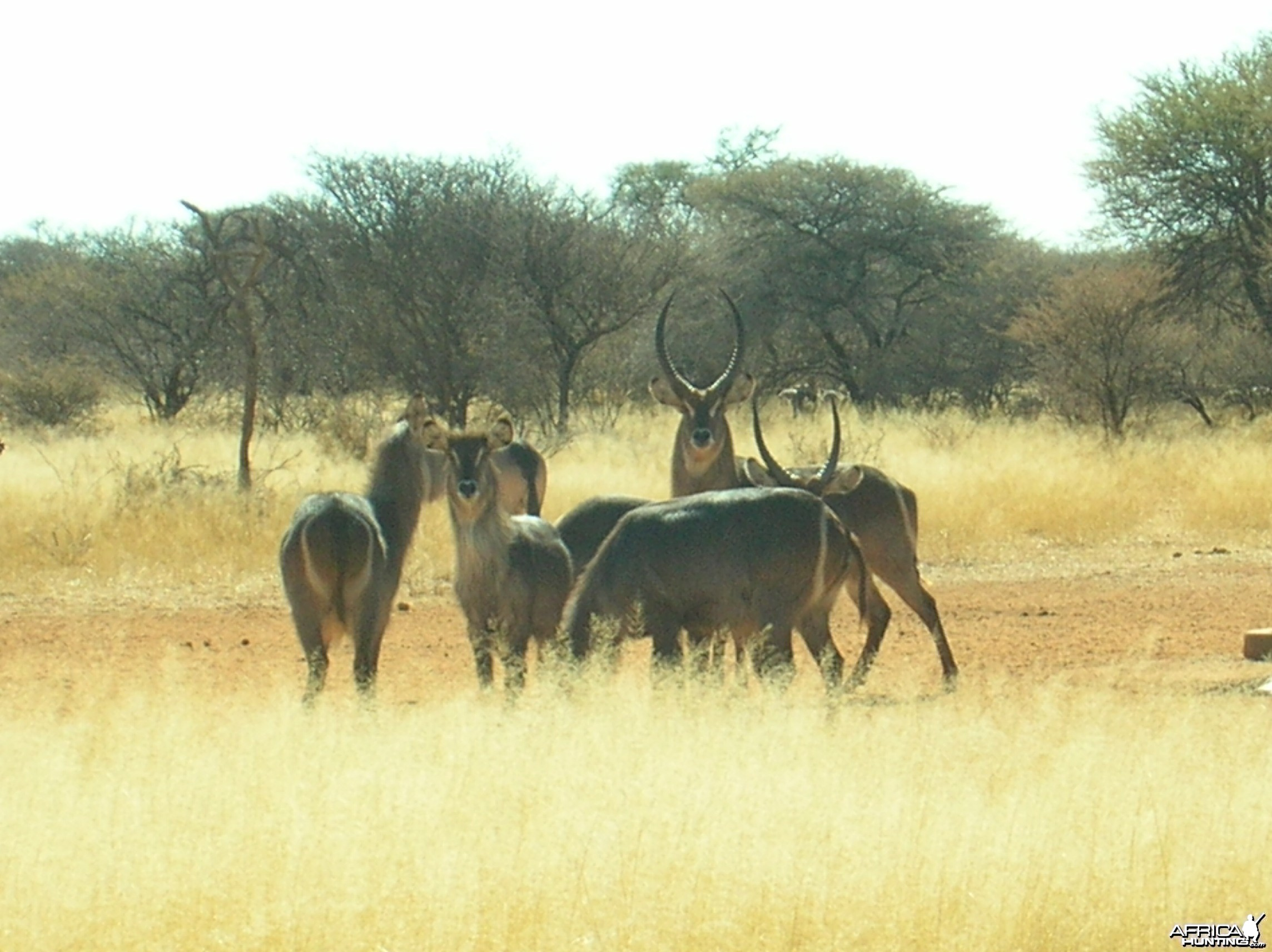 Waterbucks in Namibia