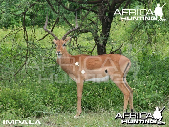 Hunting Impala Shot Placement