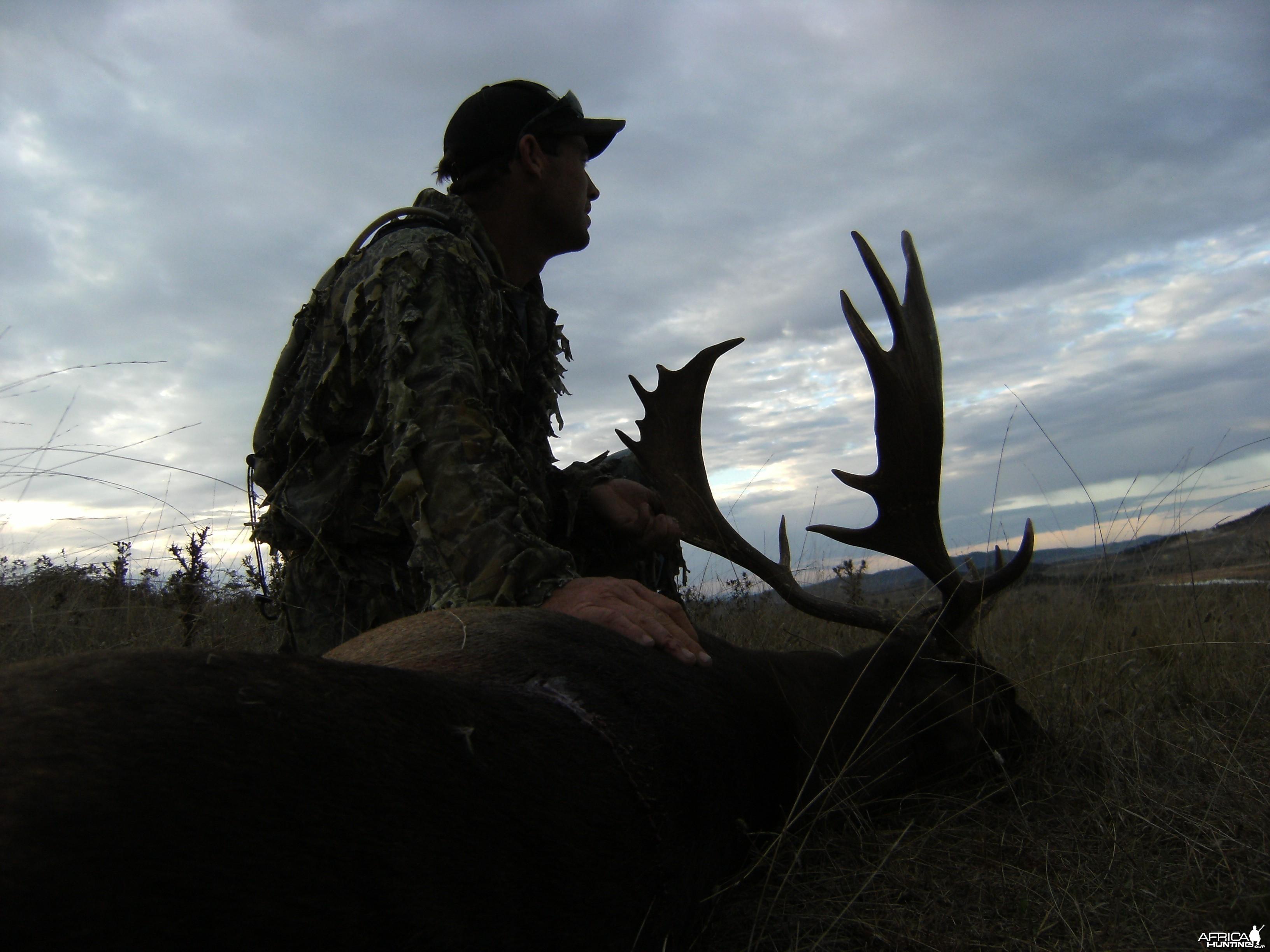 Fallow buck at dawn