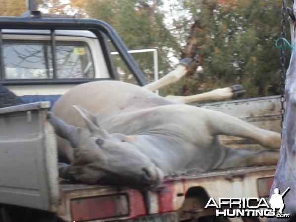 cape eland bull south africa