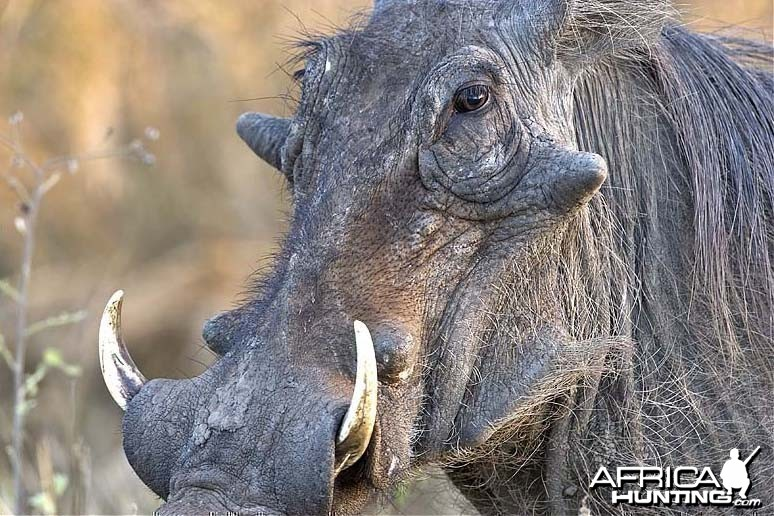 Warthog at Kruger National Park