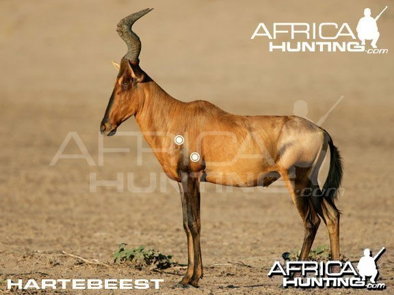 Hunting Hartebeest Shot Placement