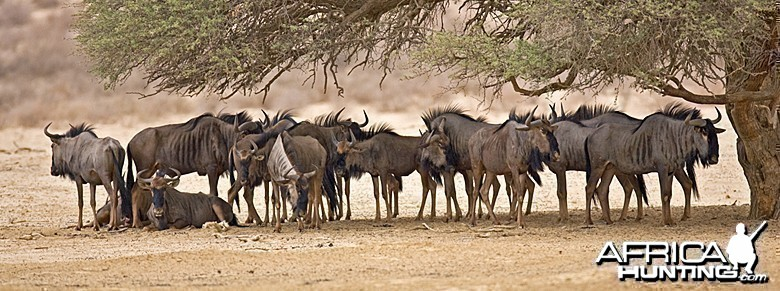 Blue Wildebeest at Kruger National Park