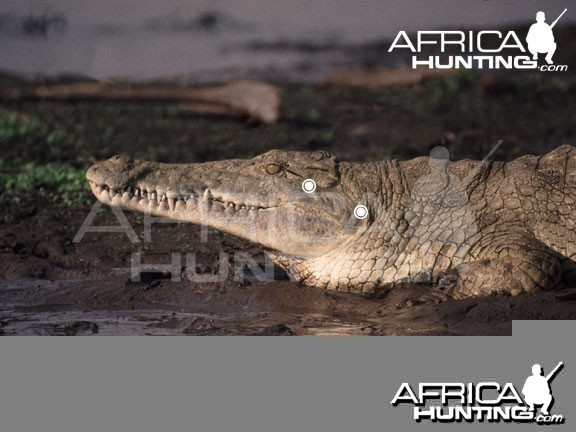 Hunting Crocodile Head & Neck Shot Placement