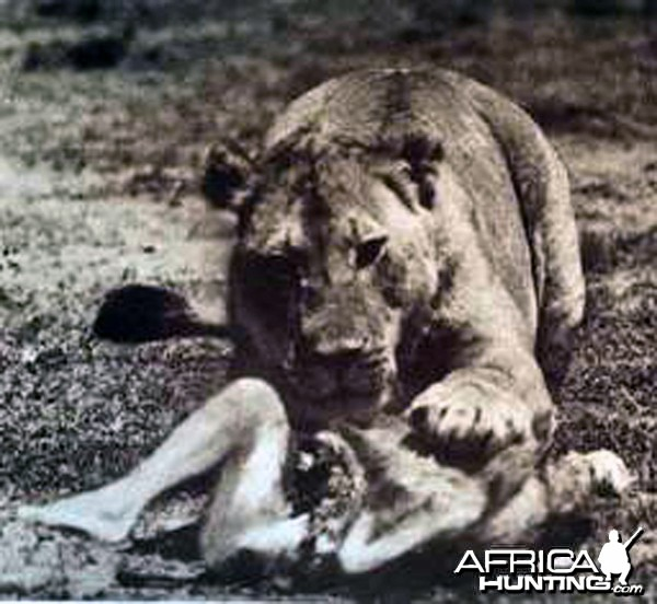 A man-eating lion in British East Africa