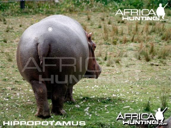 Hunting Hippopotamus Shot Placement