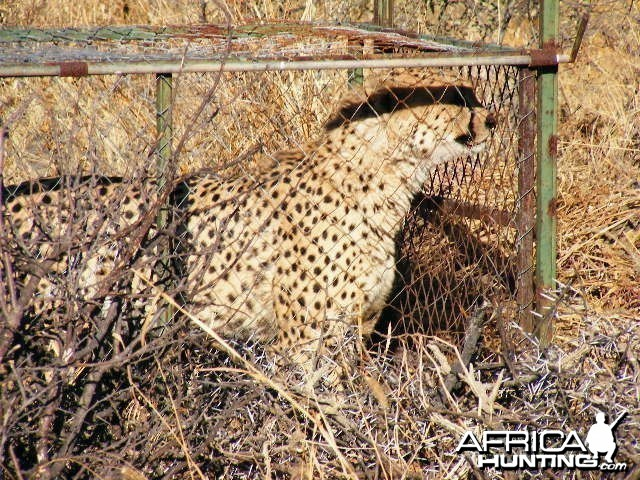 Trapped Cheetah