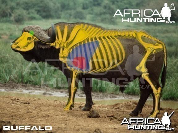 Bowhunting Buffalo Shot Placement